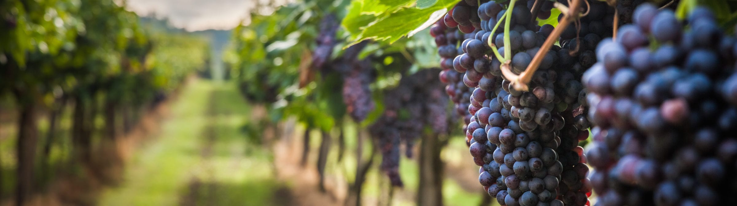 A closeup of grapes at a vineyard.